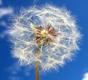 dandelion feathers